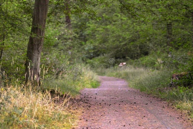 Pfad im Wald lizenzfreie stockbilder