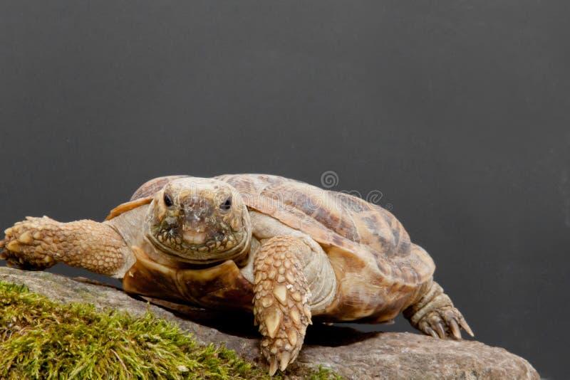 Pfannkuchen-Schildkröte lizenzfreie stockfotos