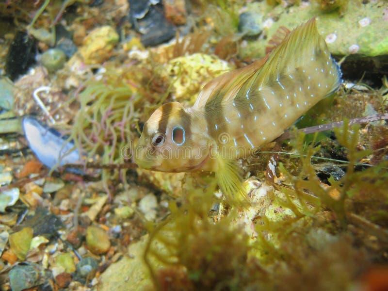 Pfau Blennyfische Salaria-Pavo lizenzfreies stockfoto