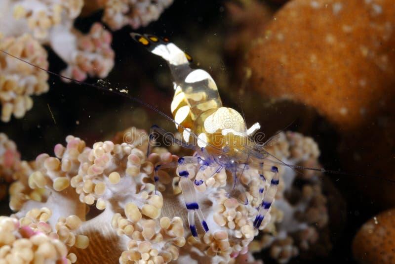 Pfau-Endstück-Anemone Shrimp Periclimenes-brevicarpalis, die auf einer weichen korallenroten Niederlassung stehen Malapascua, Phi lizenzfreie stockfotografie