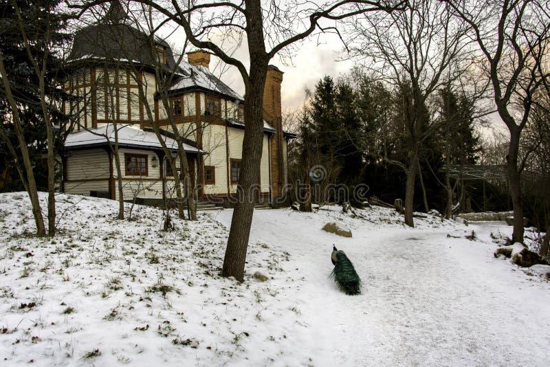 Pfau im Schnee, Stockholm stockbilder