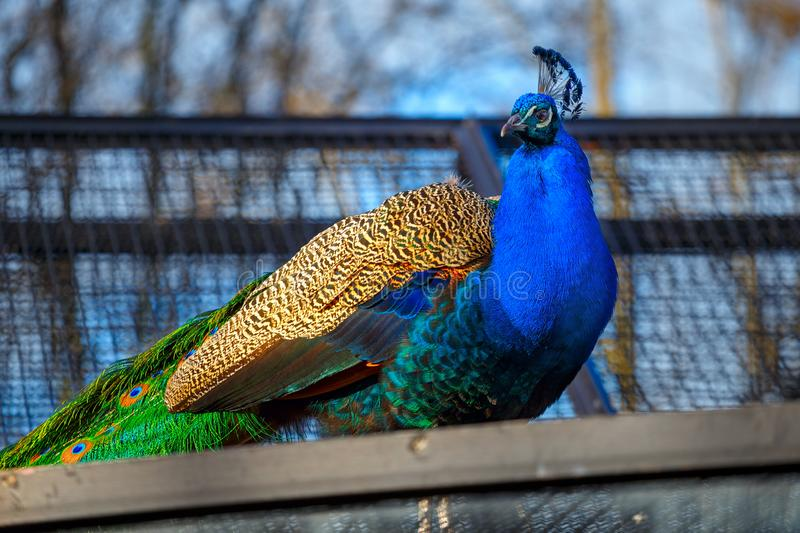 Pfau im Zoo stockbilder