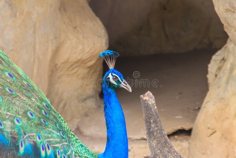 Pfau lebt in der Höhle Männlicher indischer Peafowl oder blaues peafo lizenzfreie stockfotografie