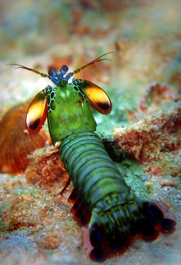 Pfau Mantisgarnele stockfotografie