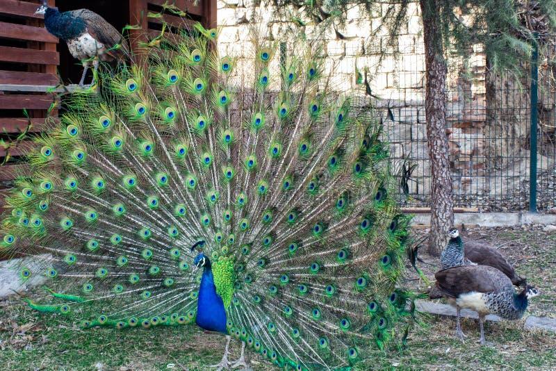 Pfau mit flüssigem Heck Zoo mit Tieren lizenzfreie stockfotos