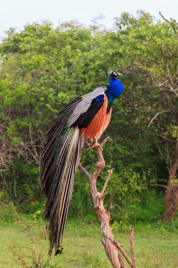 Pfau in Nationalpark Yala, Sri Lanka lizenzfreie stockfotografie