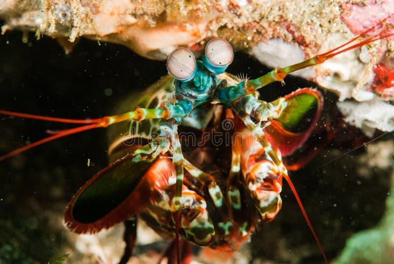 Pfaugottesanbeteringarnele in Ambon, Maluku, Indonesien-Unterwasserfoto lizenzfreie stockfotografie