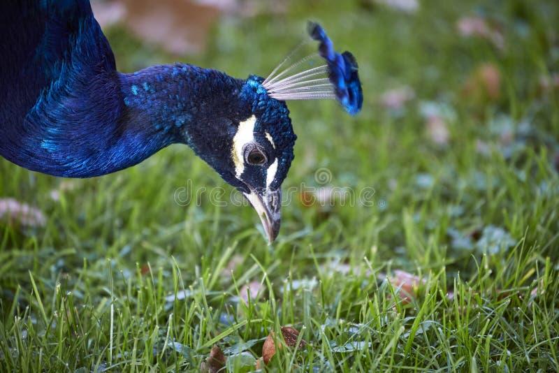 Pfauschönheits-Porträtnahaufnahme mit blauen Federn und schönem Kopfschmuck lizenzfreies stockbild