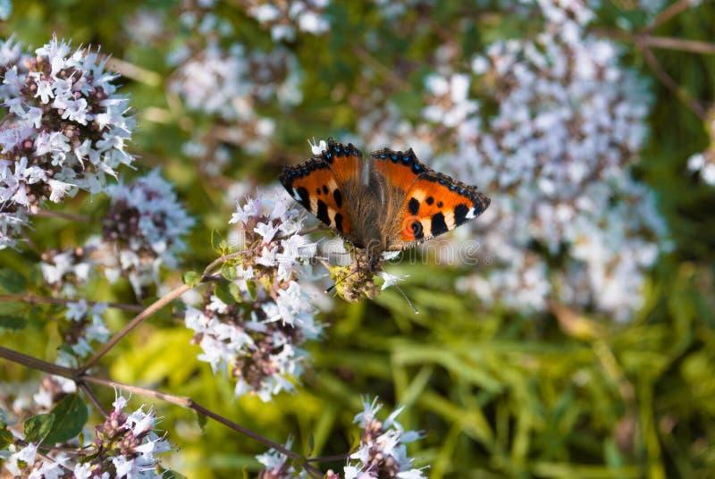 Pfauschmetterling auf Oregano oder tadelloser Blume stockbilder