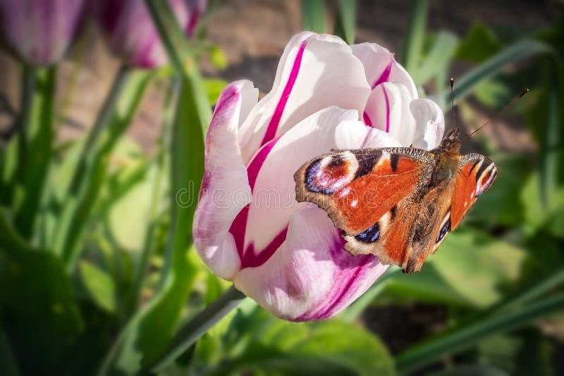 Pfauschmetterling, der auf einer rosa dekorativen Tulpenblume mit einem dunklen rosa Streifen draußen an einem Frühlingstag sitzt stockfotos