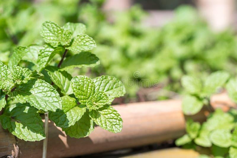 Pfefferminzanlage gewachsen im Gemüsegarten stockfoto