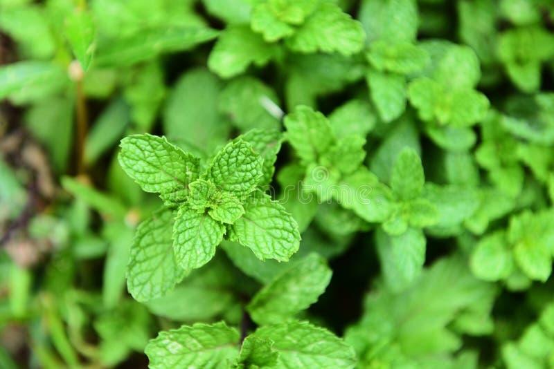 Pfefferminzblatt auf Anlage - frische grüne tadellose Blätter in den Gartenkräutern und -nahrung ingrowing am Gemüsegarten lizenzfreie stockfotos
