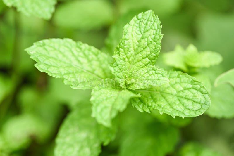 Pfefferminzblatt im Garten - Blätter der frischen Minze in den Kräutern oder im Gemüse eines Naturgrüns stockfoto