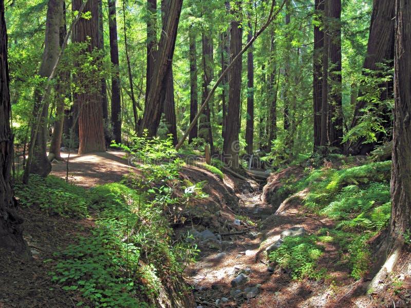 Download Pfeiffer Big Sur Redwoods Royalty Free Stock Photo - Image: 26184515