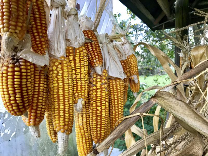Pfeiler von Mais im Freien trocknend Mit einander Spelzen angeschlossen Fall auf einem festen Seil Ernten geerntet vom Innenfeld stockfotografie