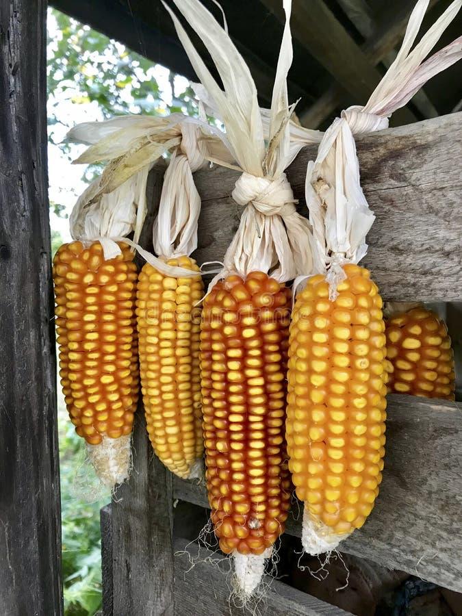 Pfeiler von Mais im Freien trocknend Mit einander Spelzen angeschlossen Hängen Sie an einer Holzkiste und an einem festen Seil Er lizenzfreies stockbild