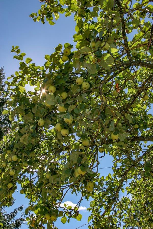 ?pfel auf den Niederlassungen eines Baums an einem sonnigen Tag Die Sonnenbr?che durch die Bl?tter lizenzfreies stockfoto