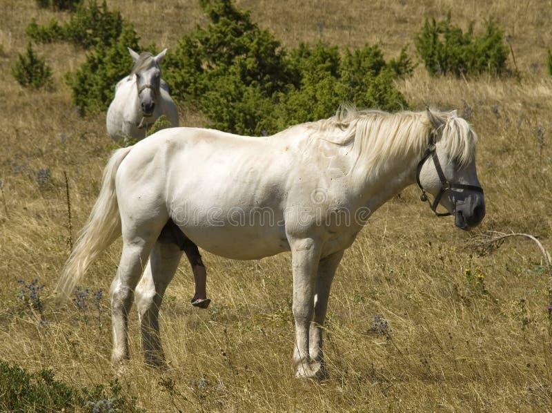 Download Pferd stockbild. Bild von groß, monster, weiß, lang, nave - 3265253