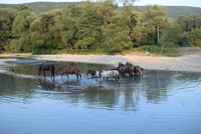 Pferd auf dem Fluss stockbild
