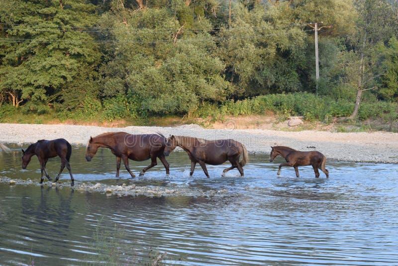 Pferd auf dem Fluss lizenzfreie stockbilder