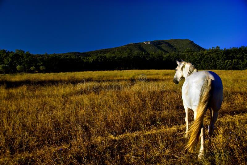 Pferd auf dem Gebiet   stockfotos