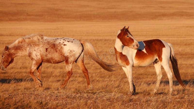 Download Pferd auf dem Grasland stockfoto. Bild von dämmerung - 27734082