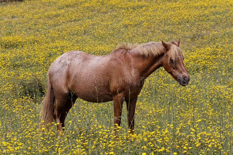 Pferd auf einer Blumenwiese in Korsika, Frankreich stockbilder