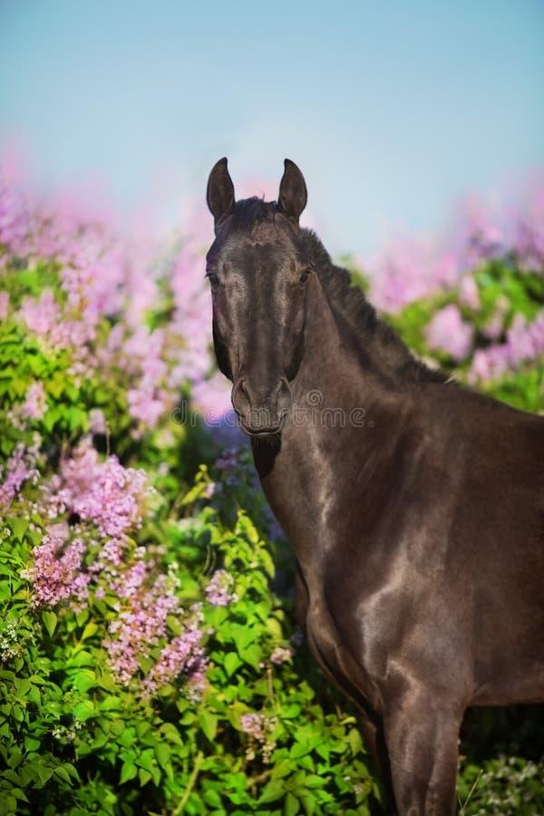 Pferd auf Flieder stockbild