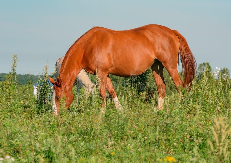 Pferd auf offener Weide lizenzfreie stockfotos