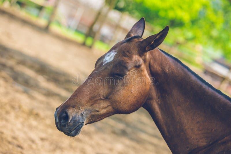 Pferd Browns Achal Teke, das in einem Schatten an einem sonnigen Tag schläft stockfotos