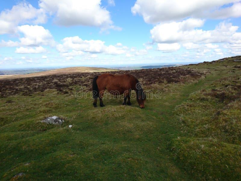 Pferd in Dartmoor lizenzfreie stockfotografie