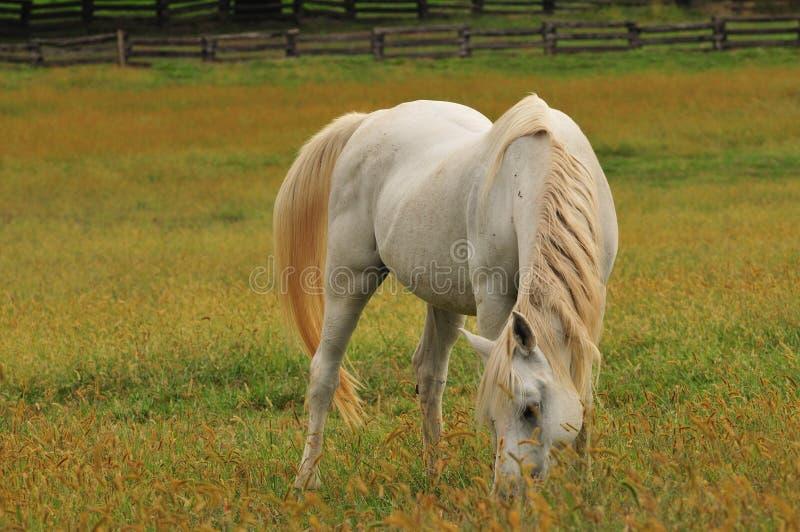 Pferd, das auf Gras einzieht lizenzfreie stockfotos