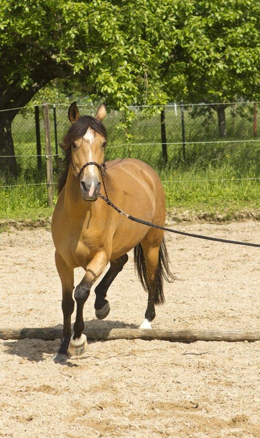 Pferd, das auf Koppel losstürzt stockfotos