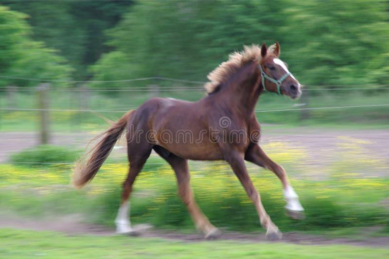 Pferd, das auf Wiese läuft stockfoto
