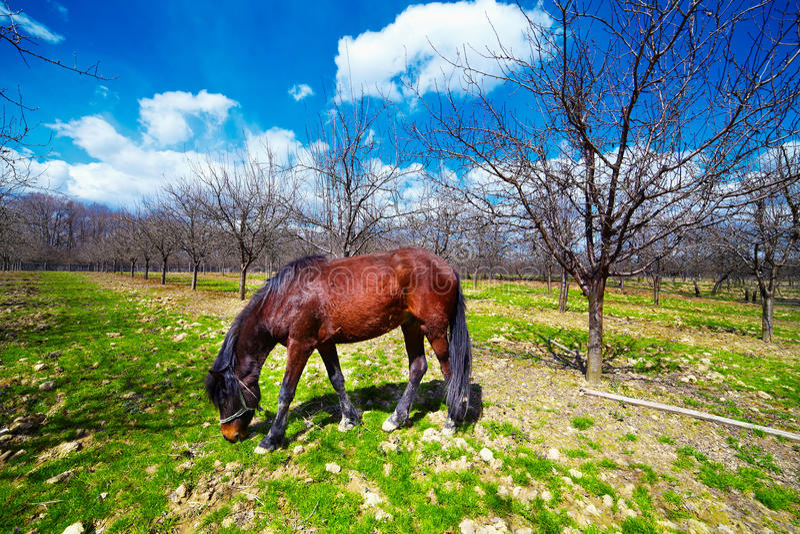 Pferd, das in einem Obstgarten weiden lässt lizenzfreie stockbilder