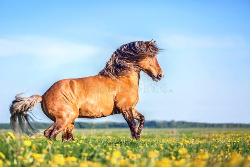 Pferd, das frei auf der Weide läuft stockbilder