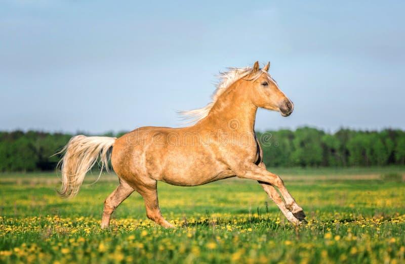 Pferd, das frei auf der Weide läuft stockfotografie