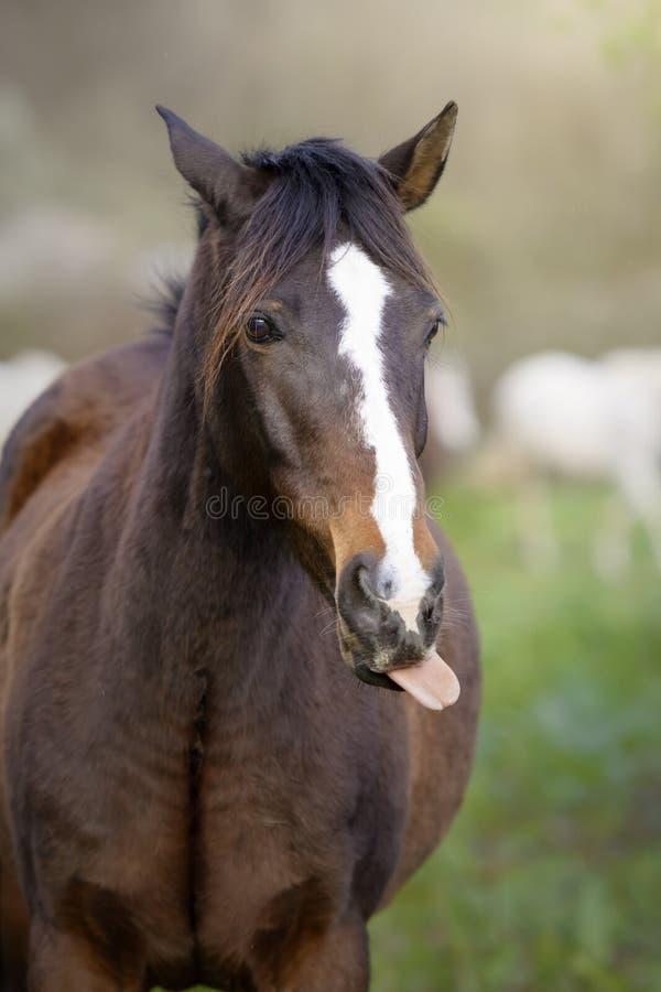 Pferd, das heraus seine Zunge haftet lizenzfreies stockfoto