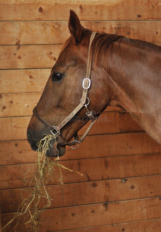 Pferd, das Heu isst stockbilder