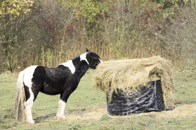 Pferd, das Heu isst lizenzfreies stockbild