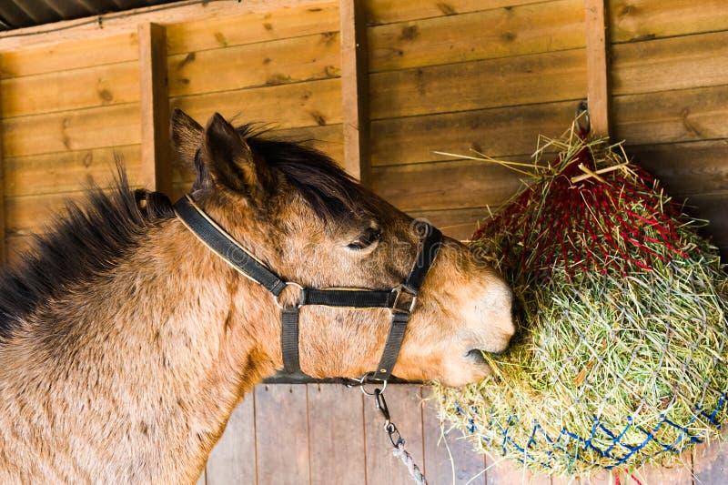 Pferd, das Heu isst lizenzfreie stockbilder