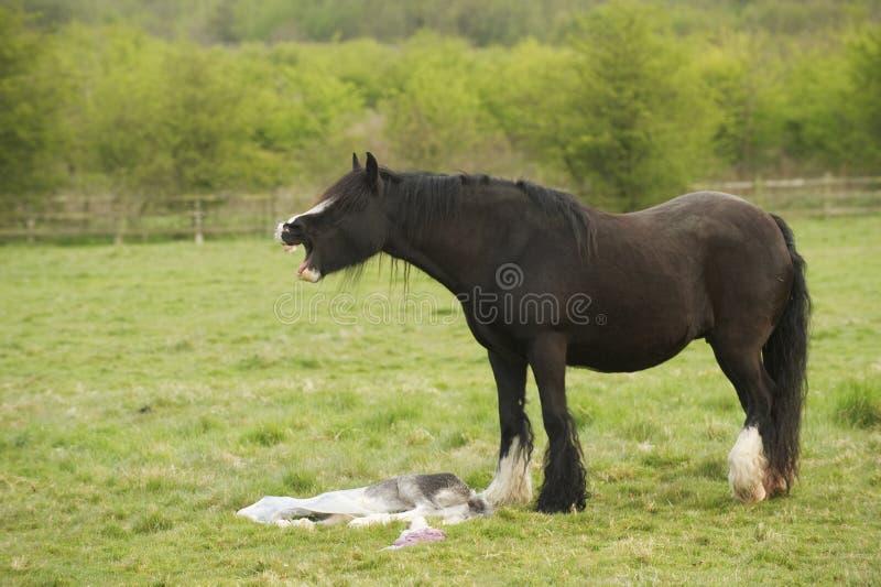 Pferd, das ihr ruhiges getragenes Fohlen beklagt lizenzfreies stockfoto