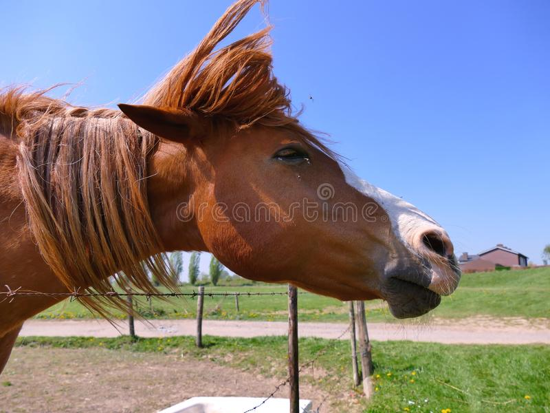 Pferd, das Kopf r?ttelt, um alle Fliegen zu entfernen lizenzfreies stockbild
