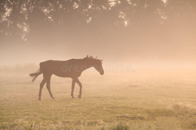 Pferd, das in Morgennebel geht lizenzfreies stockbild