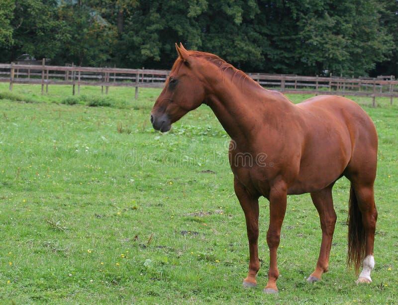 Pferd In Der Weide Lizenzfreies Stockfoto