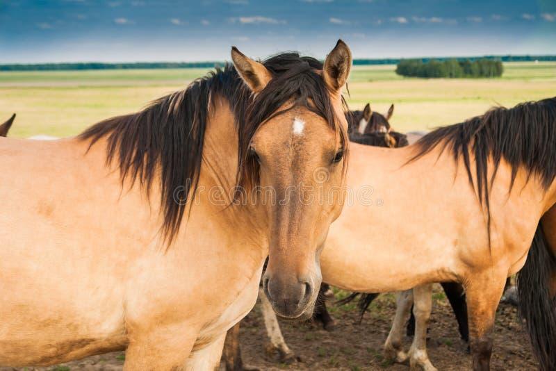 Pferd in der Weide der beige Farbe stockfotos