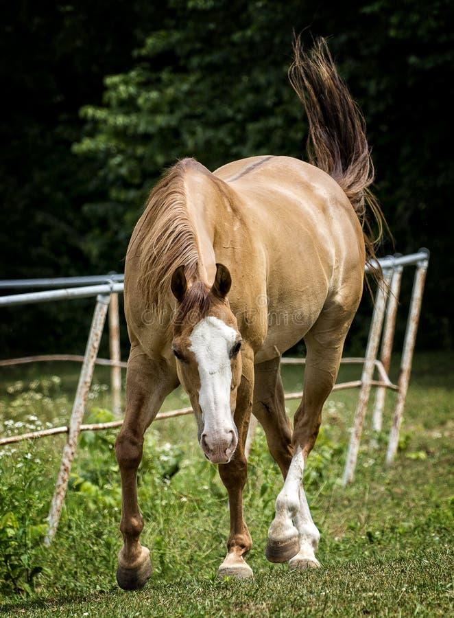 Pferd in einer Weide lizenzfreie stockfotos