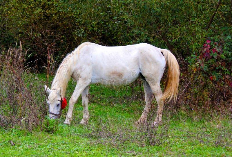 Pferd Erstaunlicher weißer lipizzaner Hengst, der im Frühjahr tänzelt lizenzfreie stockfotografie