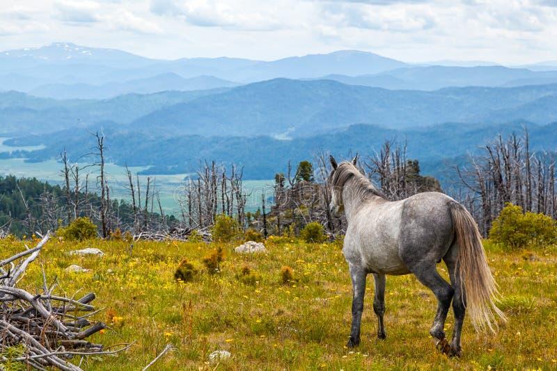 Pferd im wilden Getrennt auf Schwarzem lizenzfreies stockbild