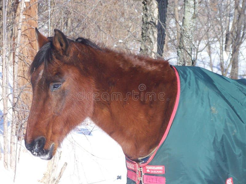 Pferd im Winter lizenzfreie stockfotografie